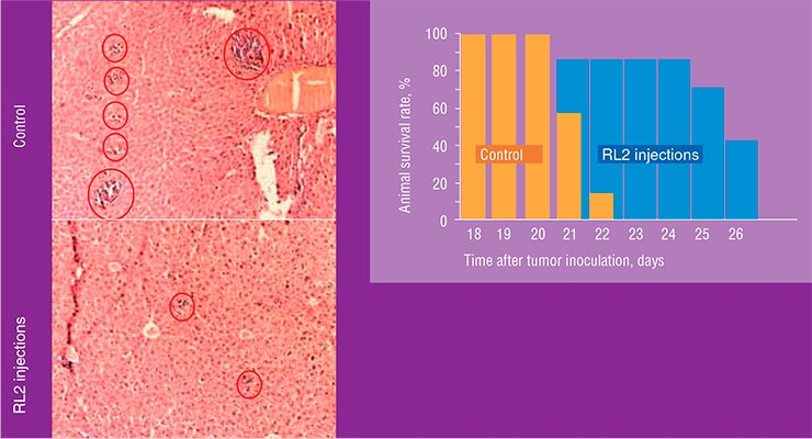 RL2 protein injections to the laboratory mice with inoculated hepatoma increased their lifespan (above). Histological examination of the liver of a sick mouse demonstrates that treatment with RL2 considerably reduces the area of metastases