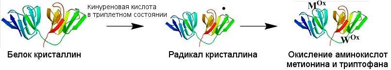 Молекула, поглотившая квант света, может переходить в реакционное триплетное состояние, вступать в реакцию с белками хрусталика и «отбирать» электрон у какой-либо аминокислоты, то есть, окислять ее. Мᴼˣ – окисленный метионин, Wᴼˣ – окисленный триптофан)