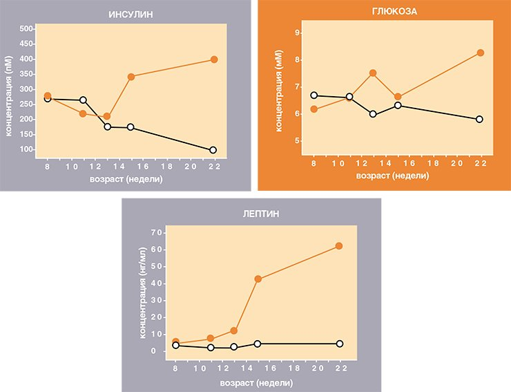 Развитие метаболического синдрома ожирения у желтых мышей предшествует появлению первых признаков диабета второго типа. Уровень лептина в крови повышается на две недели раньше, чем уровни глюкозы, жирных кислот и инсулина