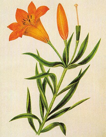 A local species: a watercolor by Decembrist P.I. Borisov depicting a Pennsylvania lily. From: (Kuibyshev, Safonova, 1986)
