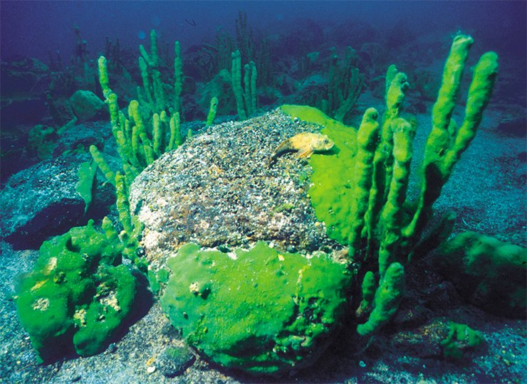 "The endemic Lake Baikal tree sponge Lubomirskia baikalensis, whose ""trunks"" may reach 1 m in height, sometimes forms real underwater ""forests"". Right, a sponge of usual green coloration; and left, of a changed pink color"