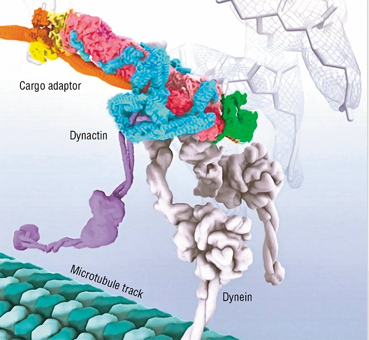 Model of the structure of cytoplasmic dynein bound to dynactin via the Golgi vesicle cargo adaptor. The dynein is reaching down to contact the microtubule track that it will drag the cargo along. Background: An ikebana created from examples of electron density from the cryoelectron microscopy structure. Image created by Janet Iwasa (University of Utah). Courtesy of Diamond Light Source LTD