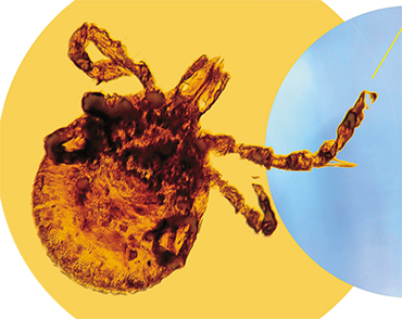Ticks from the Dominican Republic, which had been preserved in amber for about 100 million years, were found to contain cells resembling rickettsiae, i.e., bacteria that serve, today as well, as pathogens of several tick-borne infections. © CC BY 2.0, photo by George Poinar, Jr. (Oregon State University)