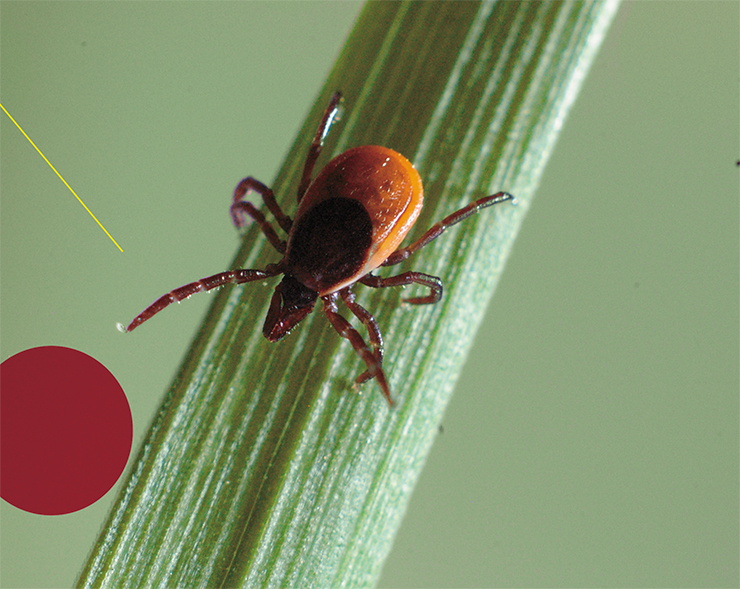 The taiga tick Ixodes persulcatus, whose habitat range spans from the northwestern regions of Russia across the entire country to the Far East, poses the greatest danger to humans because it can act as a carrier of the tick-borne encephalitis virus subtypes capable of causing the most severe forms of this disease. Photo by S. Tkachev
