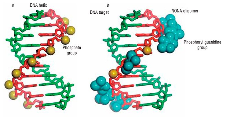 A complementary complex of a fragment of the DNA strand with a NONA oligonucleotide (b) is almost as stable as the natural DNA double helix (a)