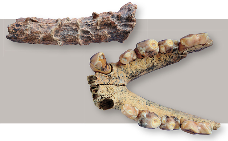 Fossils from the 12 th layer, South gallery, Denisova Cave: a roe deer horn (top) and a jaw bone of the cave hyena (bottom). Photo by S. Zelensky