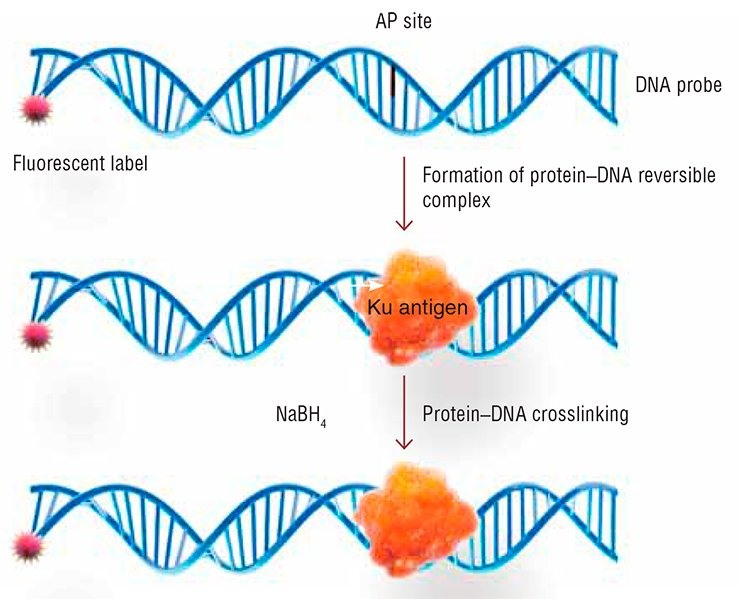 The method elaborated at the Institute of Chemical Biology and Fundamental Medicine, for detecting Ku antigen, uses its ability to interact with the DNA segments that contain AP sites (the lost nitrogenous base). Such a DNA probe also has a radioactive or a fluorescent label. The protein forms an unstable covalent complex with DNA, mediated by a Schiff base formed between the primary amino group of the protein and AP site. The complex is reducible by sodium boron hydride; this results in an irreversible protein–DNA crosslinking. The label attached to DNA probe allows for detection of the target protein, Ku antigen