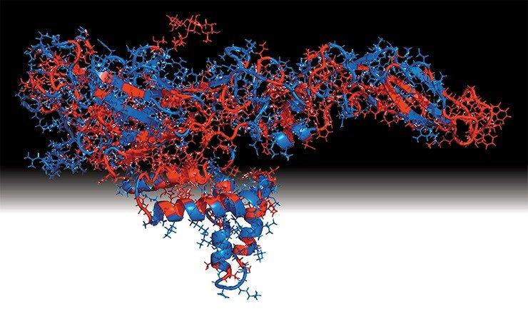 На трехмерной модели поверхностного белка-антигена вируса Зика (вверху) красным цветом выделены участки, совпадающие с аналогичными фрагментами поверхностного белка вируса Денге, что усложняет диагностику. Предоставлена к. б. н. А. Ю. Бакулиной (НГУ, Новосибирск)