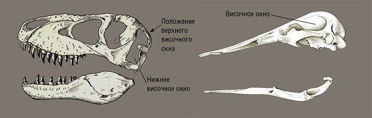 Слева: череп диапсида – крупного хищного динозавра Tarbosaurus efremovi (верхний мел, Монголия). Рис. автора по: (Малеев, 1955), с изменениями. Справа: череп синапсида – утконоса Ornithorhynchus anatinus, современного млекопитающего из отряда однопроходных. Australian Museum, NM 19721. Рис. автора