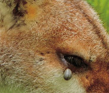 Иксодовый клещ, напившийся крови на животном-хозяине. © CC BY 2.0 Michael Coghlan