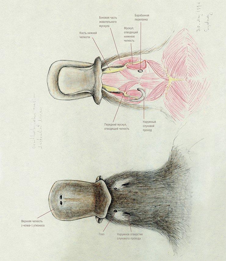 При препарировании головы утконоса после удаления шкуры и наружных мышц можно видеть, что наружный слуховой проход поднимается, изгибаясь, с нижней стороны черепа вверх до глазницы, где крепится к верхней части скуловой дуги позади глаза (рис. вверху). К нижней челюсти наружный слуховой проход крепится в месте расположения барабанной перепонки (рис. внизу). Челюсти утконоса («клюв») используются животным не только для захвата пищевых объектов. Этот орган является также важным элементом электросенсорной системы. Дело в том, что под водой утконос плавает с закрытыми глазами и замкнутым слуховым отверстием. Животное ориентируется и ловит добычу под водой благодаря генерируемым им электромагнитным колебаниям, а его клюв играет роль антенны, которая улавливает изменения структуры электромагнитного поля аналогично современному миноискателю