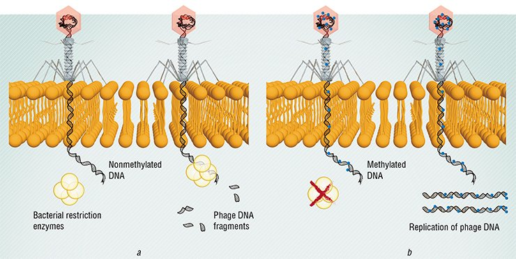 (a) In the coevolution of phages and bacteria, the former have developed a mechanism for overcoming the bacterial defense system, the restriction enzymes of which cleave the phage DNA that lack characteristic bacterial labels (methylated DNA bases). (b) The phages carrying methylated DNA can successfully infect bacteria