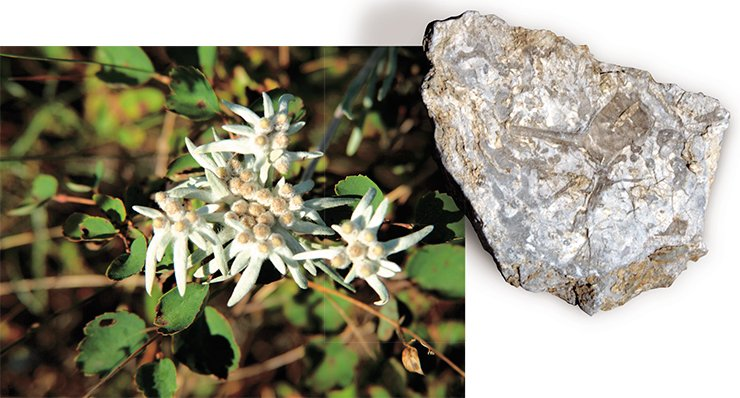 Near the cave you can come across edelweiss, a well-known inhabitant of the subalpine mountain zone (left). The Denisova Cave formed within a block of Silurian bioherm calcerous rock that appeared about 430 million years ago, when the Altai territory rested under a warm sea. Witnesses of the epoch are trilobite fossils