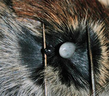 Клещ Ixodes trianguliceps паразитирует только на мелких млекопитающих, к людям и крупным млекопитающим не присасывается. При этом его ареал пересекается с ареалом других клещей рода Ixodes, нападающих на людей, а их прокормителями служат одни и те же виды животных. Поэтому I. trianguliceps может заражать людей опосредованно, через клещей других видов (Филиппова, 1977; Якименко, 2013). Вверху – сытые самка и нимфа I. trianguliceps на полевке. Фото В. Якименко (Омский НИИ природно-очаговых инфекций)
