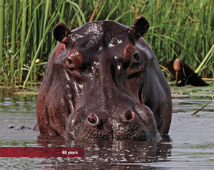 The hippo, the closest nominally terrestrial relative of whales, who leads a semi-aqueous lifestyle, can live to 60 years. © Charles J. Sharp
