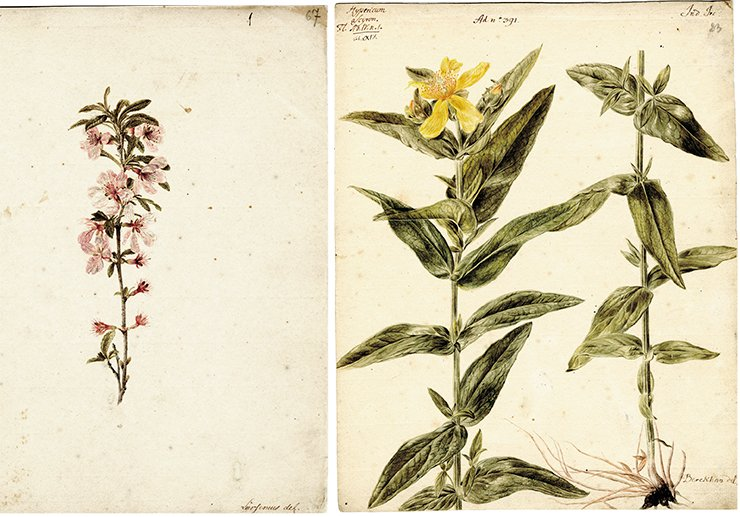 Left: Rubus (raspberry, raspberry field). Drawing by J. W. Lurzenius. Water color, pencil. SPB RASA. Coll. I. Inv. 105. File 22. Sheet 67. On right: Hypericum asciron (great sainfoin). Drawing by J. Ch. Berckhan to the 4th volume of Flora Sibirica by J. G. Gmelin (1769). Water color, pencil. SPB RASA. Coll. I. Inv. 105. File 22. Sheet 23
