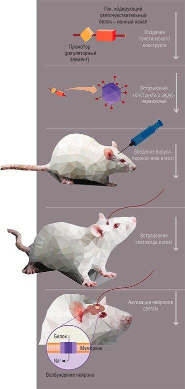 Оптогенетический метод позволяет извне регулировать работу мозга с помощью непосредственного воздействия светом через вживленный в мозг оптоволоконный световод. Предварительно с?помощью генно-инженерных методов в нейроны нужно встроить ген, кодирующий светочувствительный белок, являющийся одновременно и ионным каналом: под?действием света он вызывает возбуждение или ингибирование нейрона