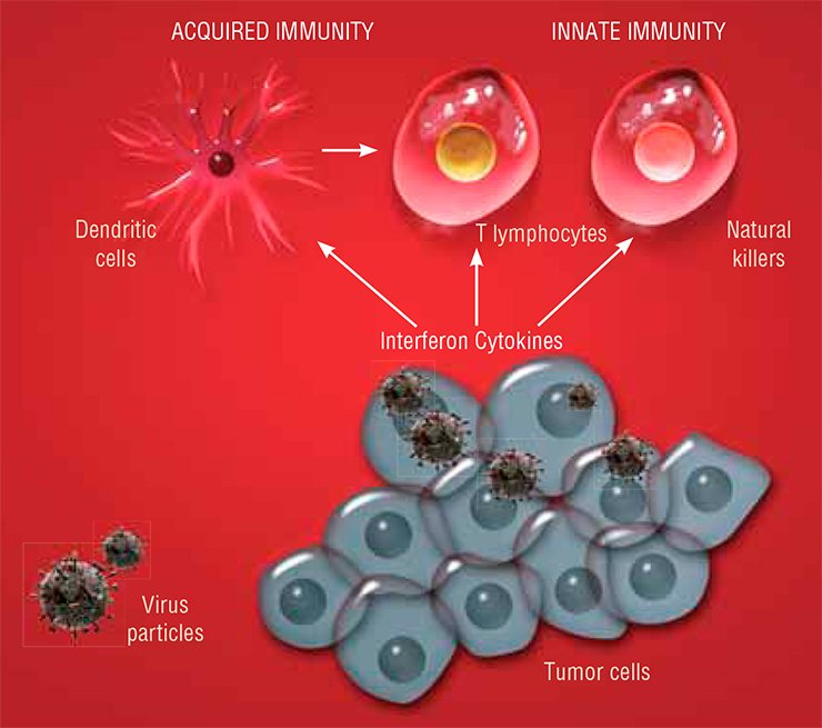 "Viruses not only kill tumor cells, but also stimulate antitumor immune response. Infection with a virus stimulates tumor cells to release numerous cytokines, hormone-like proteins and peptides, and the cells forming the tumor stroma (vessels and connective tissue), to produce interferon. All these substances act on the cells referred to as natural killers and set them against tumor cells. Cytokines recruit and activate dendritic cells, which recognize tumor cells and ""teach"" cytotoxic T lymphocytes. Thus, viral infection activates both the innate and acquired immunities"