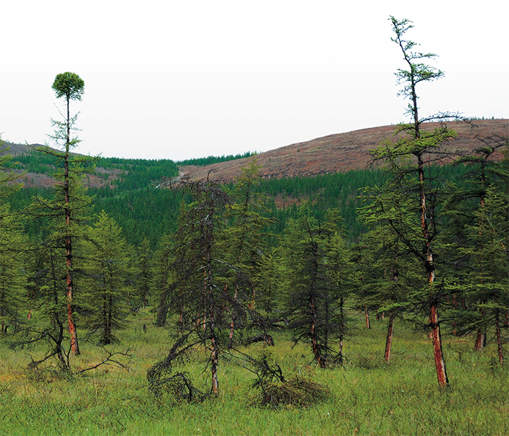 Poorly regenerating, overgrown larch forests of the Arctic, where three centuries can pass between wildfires