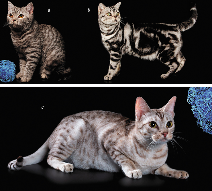 The Тa (Tabby) gene ensures the alternation of light and dark zones on the surface of an animal's body. The normally functioning Ta gene forms the tiger stripes of the mackerel coat (a). Mutations in Та cause the development of the blotched pattern (b). Modifier genes split stripes into spots (c). a – © angel_s20 – stock.adobe.com; b – © Aleksand Volchanskiy – stock.adobe.com; c – Owner: E. Malysheva. Candidu et Malysheva cattery (Chelyabinsk)