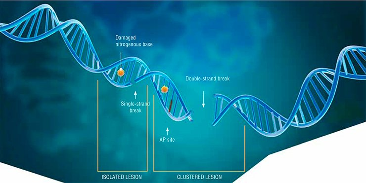 Of all the damage types observed in the DNA molecule, the most dangerous for cells are double-strand breaks and clustered lesions of AP sites, oxidized bases, and breaks within one–two DNA helix turns. Such lesions are mainly caused by ionizing radiation and by radiomimetic drugs