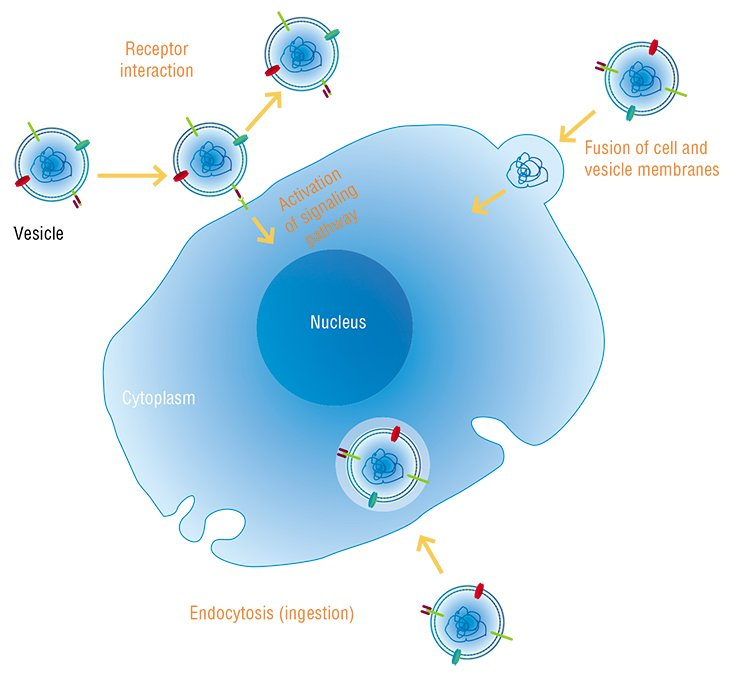 Similar to the sources of nucleic acids, the routes they use to enter cells are also different. The vesicles (small sacs) containing nucleic acids can interact with target cells in a variety of ways. In some cases, nucleic acids may be transferred from the vesicle to the cell, or there may just be an interaction between protein receptors on the vesicle membrane and the cell. In the latter case, further effects are determined by the type of the involved receptor