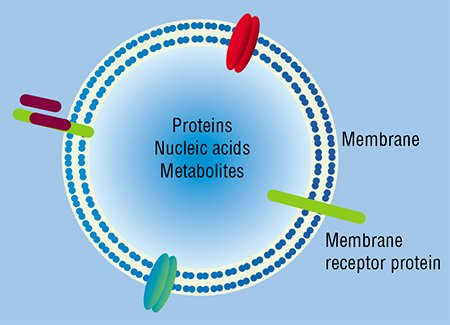 "Nucleic acids, including RNA, travel throughout the body within specialized particles of a microvesicle type (above), a kind of ""mail"" in membrane ""envelopes"", which cells send to one another"