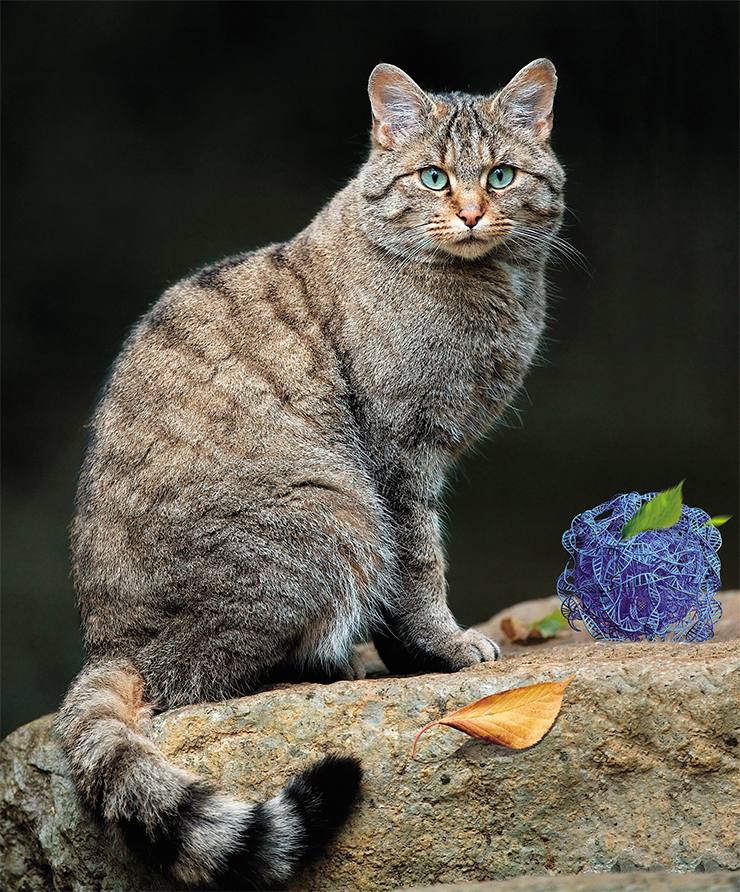 The European wild cat (Felis silvestris silvestris) is one of the extant wild relatives of the domestic cat. © Lviatour
