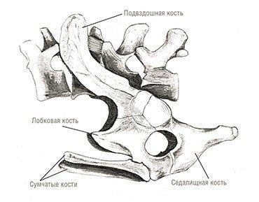 Так называемые сумчатые кости, имевшиеся у териодонтов, обнаружены не только у всех современных сумчатых, но и у однопроходных. Тазовые кости утконоса. Рис. автора