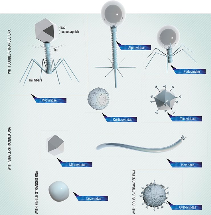 Bacteriophages differ in their shape and structure. Some of them are most simple, being shaped as an icosahedron or a filament, while others resemble killer robot spacecraft. In some phages, hereditary information in encoded in DNA (single- or double-stranded) and in others, in RNA. Phages with a large genome (typically, up to 170 kilobase pairs) have the most intricate structure. Such phages may be larger than the viruses of multicellular animals.A typical bacteriophage consists of a head housing DNA or RNA, covered by a protein of lipoprotein envelope (capsid) and a tail, a protein tube used for injecting the viral genetic material into a bacterial cell