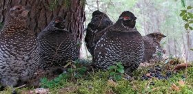"""Noah's Ark"" for the Siberian Grouse"