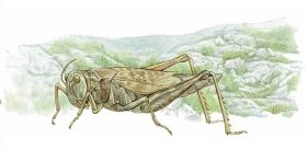 Grasshopper Dear... Evolution and Ecology Essays